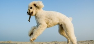 White poodle with stick