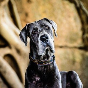 pm-photo-Lloyd-the-Great-Dane